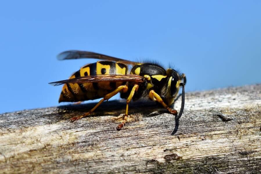 N°2 :Les guêpes, abeilles et bourdons