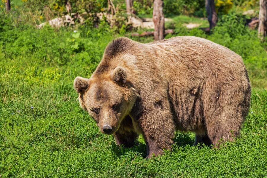 Découverte d'un ours brun en Espagne pour la première fois depuis 150 ans