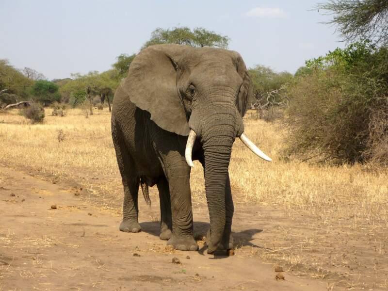Éléphant : Un géant pas aidé par la nature