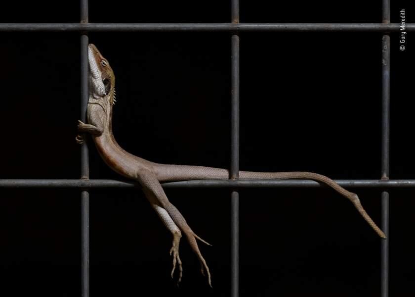 Dragon au repos, Gary Meredith, Australie
