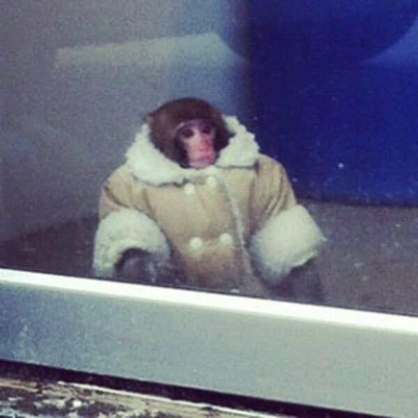 Le singe IKEA