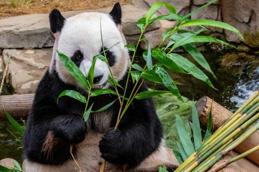 Les pandas se sont mis au sexe