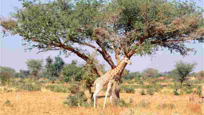 Une ancienne salariée d'Acted au Niger explique que voir les girafes restait une sortie encadrée et contrôlée