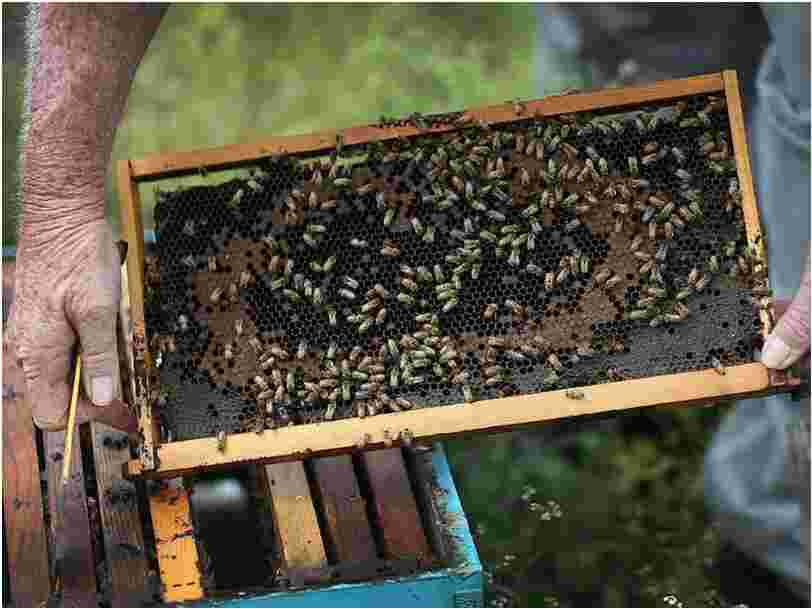 Scientists have taught bees to smell the coronavirus. They can identify a case within seconds.