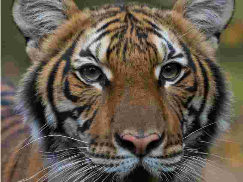 A tiger at the Bronx Zoo tested positive for COVID-19 after coming into contact with an asymptomatic caretaker