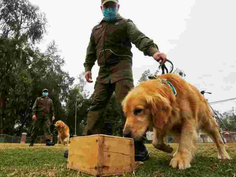 Les chiens sont entraînés pour trouver le coronavirus en reniflant les gens dans les lieux publics
