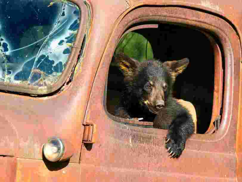 Bear cubs in California are developing an unexplained illness that makes them friendly and not afraid of people
