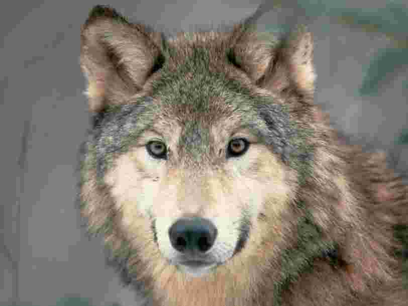 The Idaho senate has approved a bill to kill 90% of the state's wolves