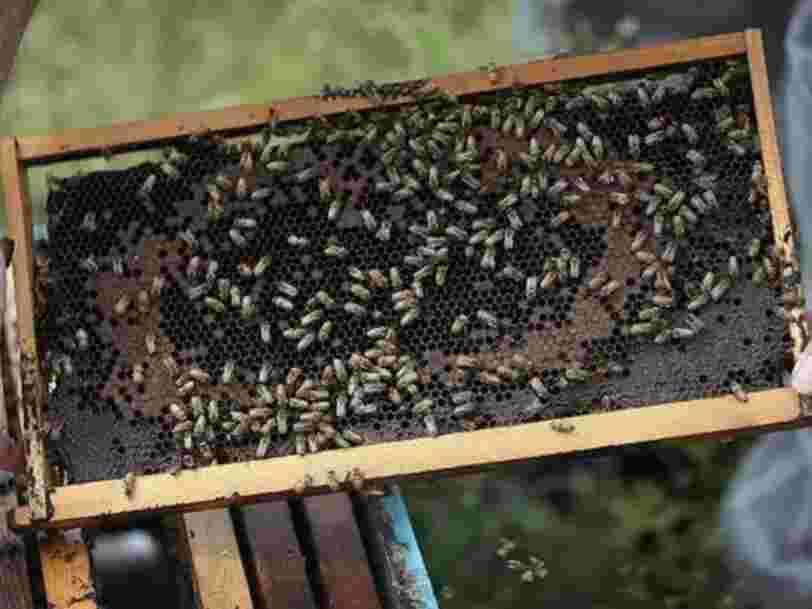 Des scientifiques ont appris à des abeilles à identifier un cas de Covid-19 en quelques secondes