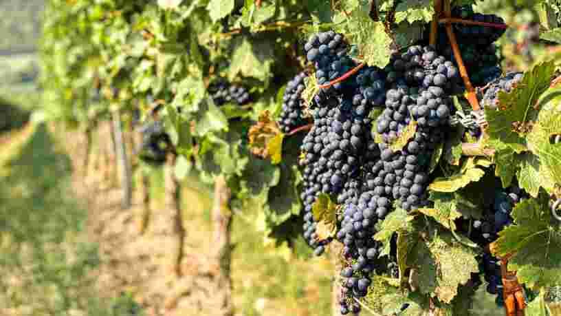 Foire aux vins Carrefour : la sélection des vins bio
