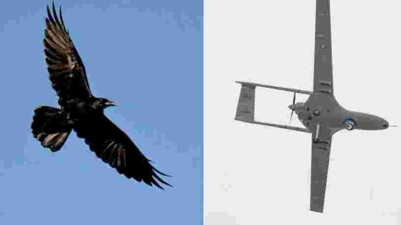 Cette vidéo montre un corbeau attaquer un drone de Google qui effectuait des livraisons