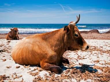 8 races de vaches à redécouvrir