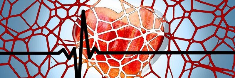 Les veines conduisent le sang vers le cœur. Pour éviter qu'il ne reflue, elles :