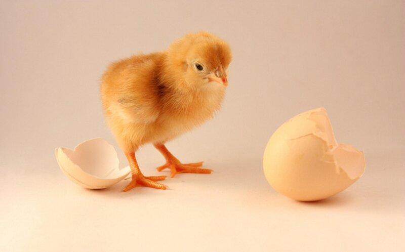 La poule fabrique la coquille de son œuf en 24 heures et laisse une poche d'air entre celle-ci et la membrane coquillière qui enveloppe le blanc. A quoi sert-elle ?