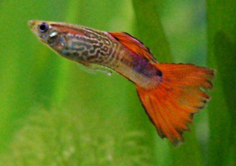 Le guppy est un petit poisson tropical connu pour être le don Juan des aquariums. Sexuellement très actif, il doit éviter ses rivaux pour conquérir la femelle qu'il convoite. Pour cela, il :