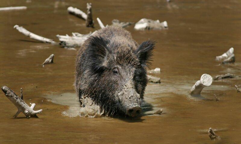 Les sangliers aiment se vautrer dans la boue, notamment pour se protéger des parasites. Loin d'être sales, ils sont capables de :