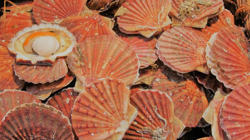 A quel organe correspond le corail dans la coquille Saint-Jacques ?