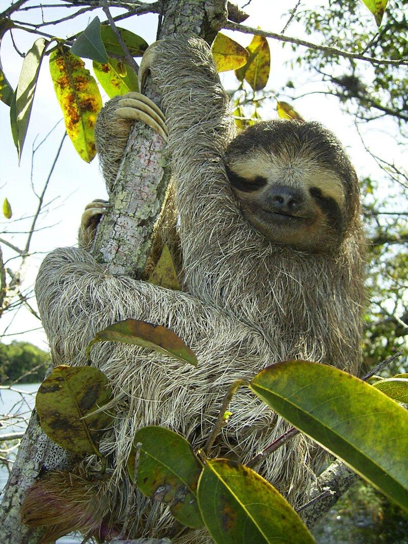 Les paresseux se déplacent à la vitesse supersonique de 0,6 km/h quand ils sont sur un arbre ou au sol. En revanche ils sont beaucoup plus rapides quand