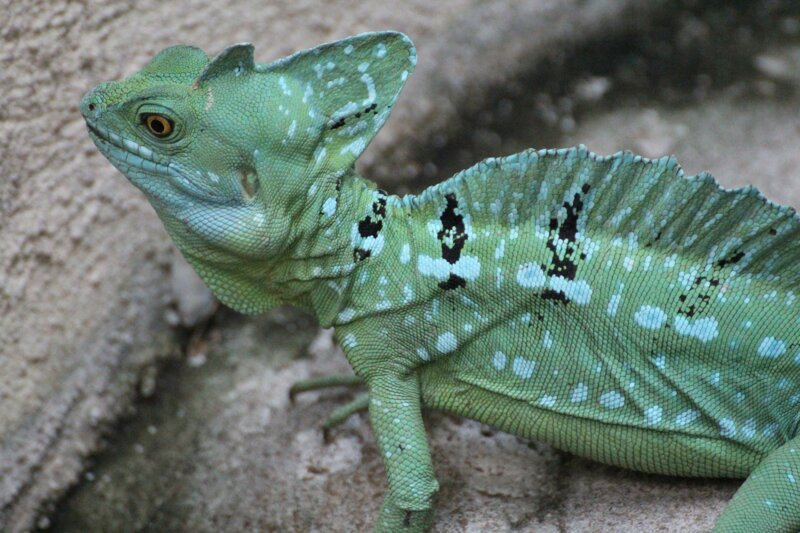 Pourquoi ce reptile d'Amérique centrale est-il surnommé basilic Jésus ?