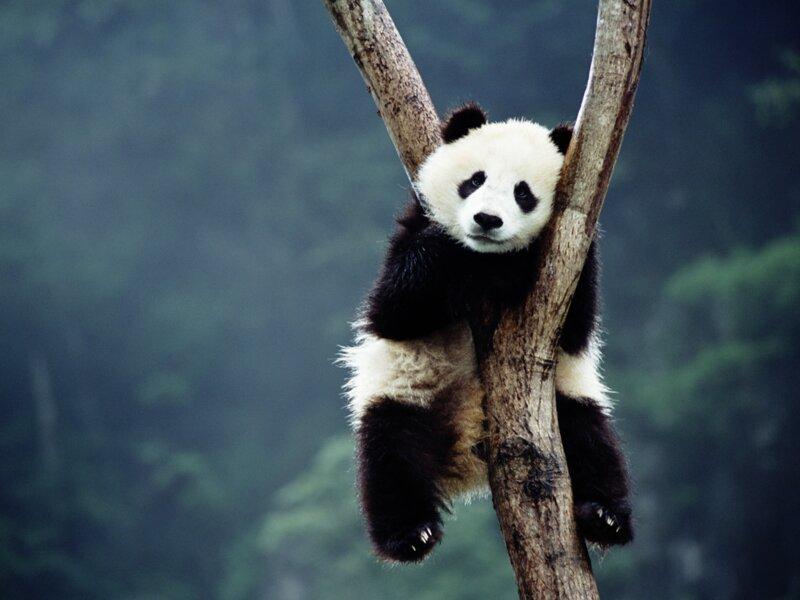 Que savez-vous sur les pandas ?