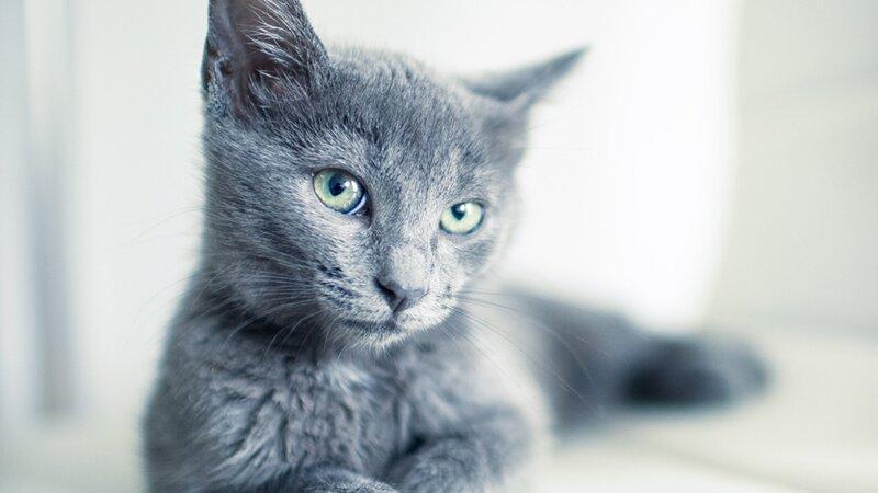 Connaissez-vous ces expressions sur les chats ?