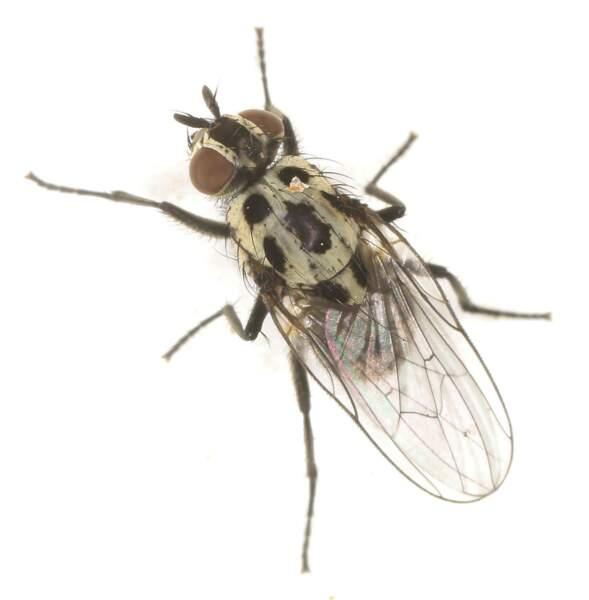 Anthomiya, la mouche des pluies, arrive au bout de 3 à 4 mois, lors de la dégradation des protéines du corps.