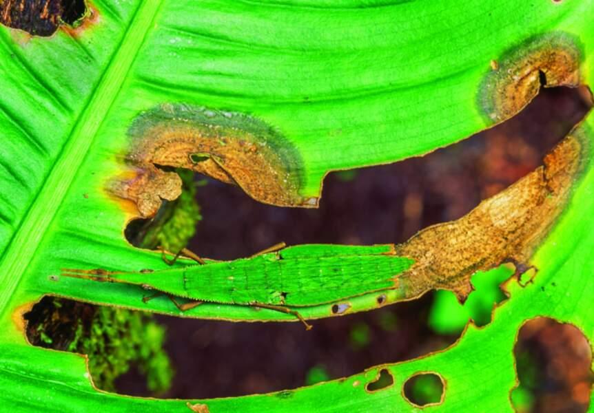 Sauterelle voyante (Pérou)