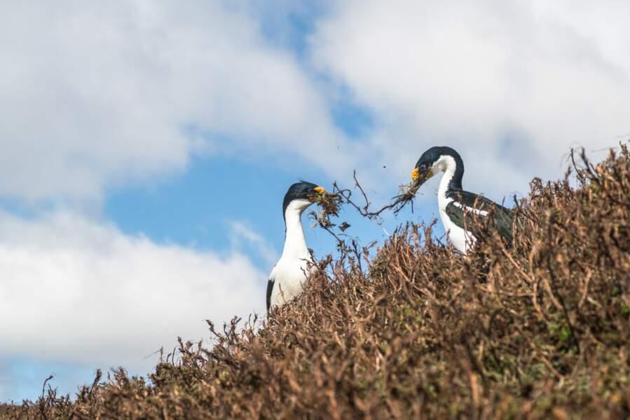 Cormorans des Îles Kerguelen