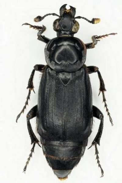 Après 4 à 5 mois, le nécrophore ensevelisseur enterre les restes de corps pour en nourrir ses larves