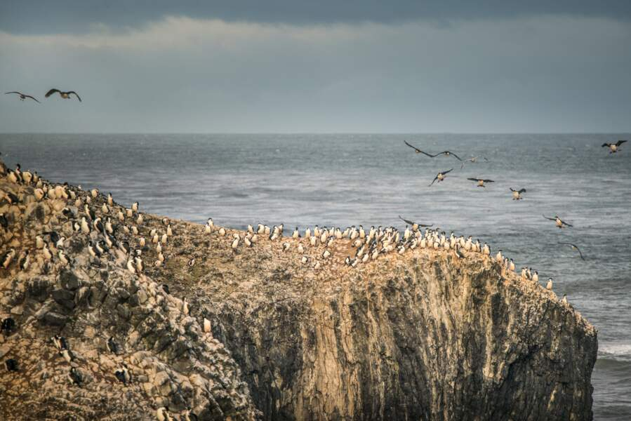 Falaise où une colonie de cormorans a trouvé refuge