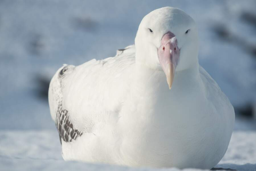 Albatros juvénile des Îles Kerguelen