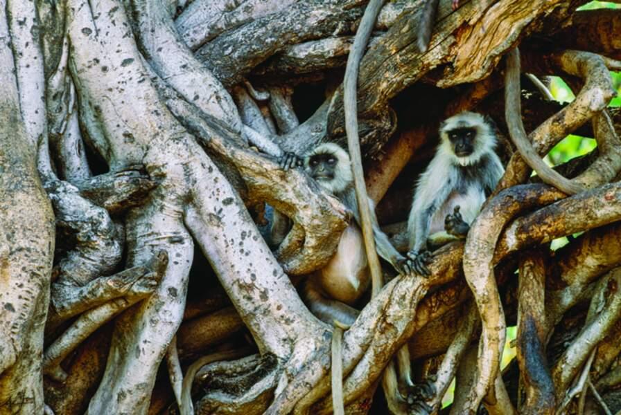Semnopithèque entelle (Inde)