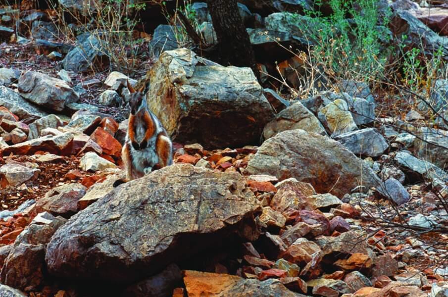 Pétrogale à pied jaune (Australie)