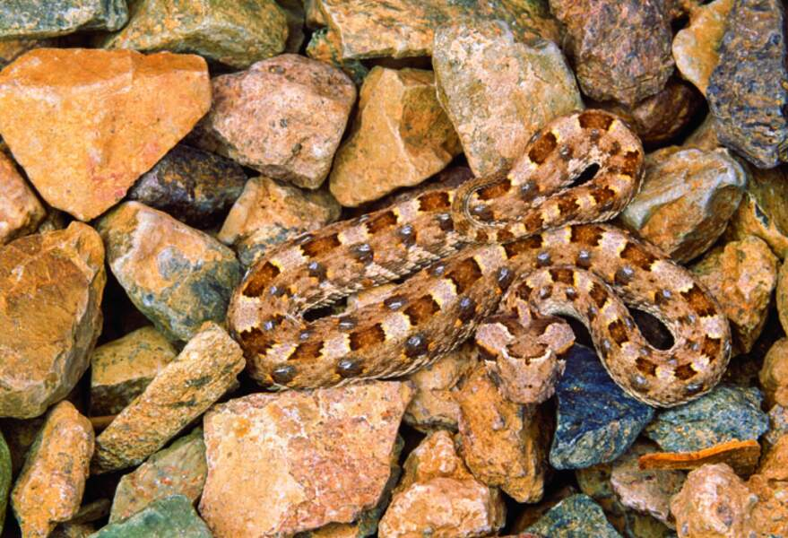 Vipère à cornes d'Afrique du sud (Namibie)