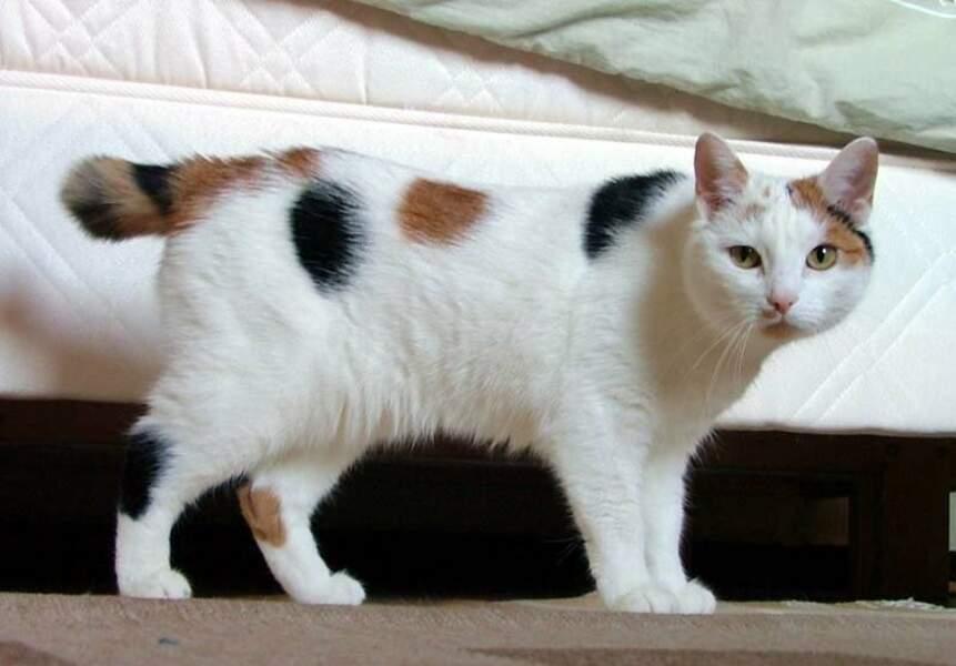 Le Manx est un chat sans queue