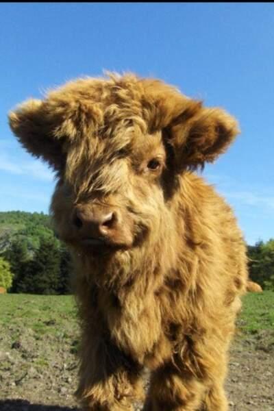Une vache poilue