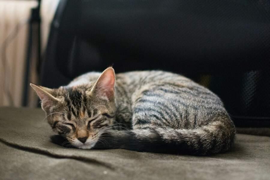 Un chat dort en moyenne pendant les deux tiers de sa vie