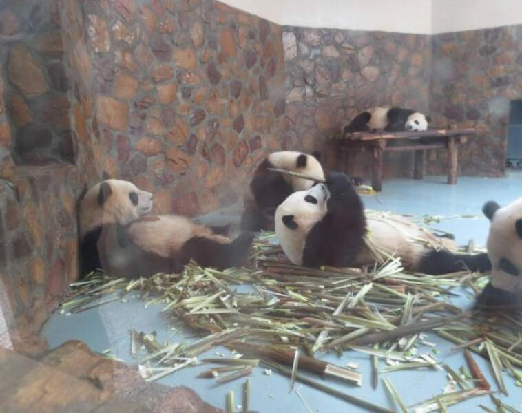 Very bad trip chez les pandas