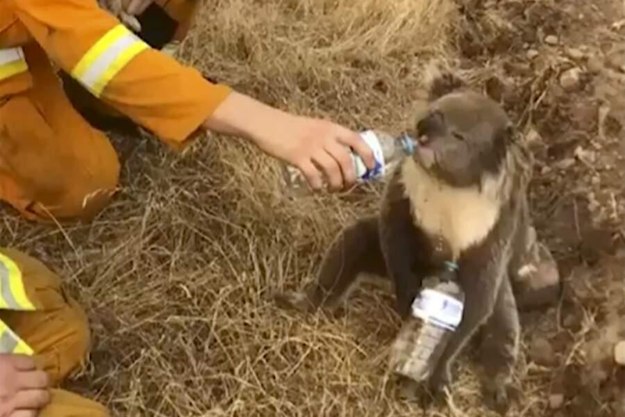 Un koala aidé par des pompiers