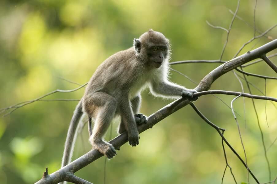 Le macaque crabier