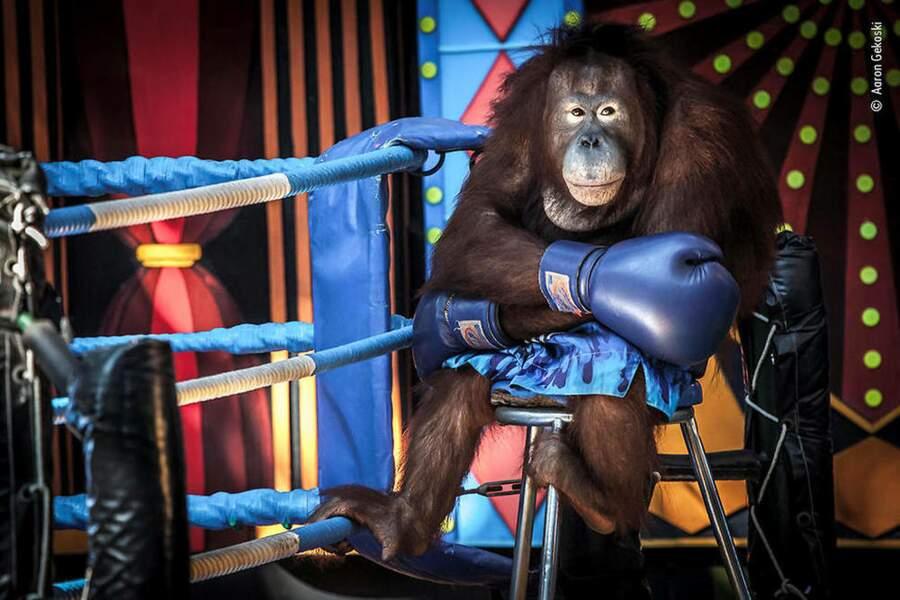 Un orang-outan sur le ring