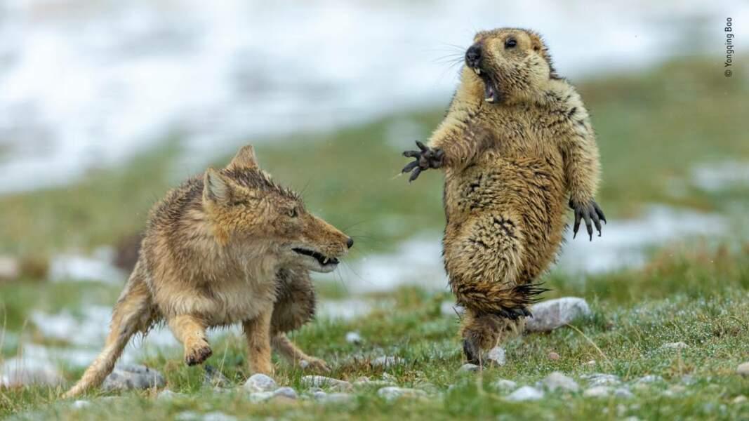 La fable du renard et de la marmotte