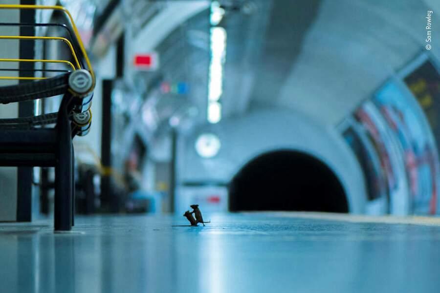 Combat de souris dans le métro de Londres