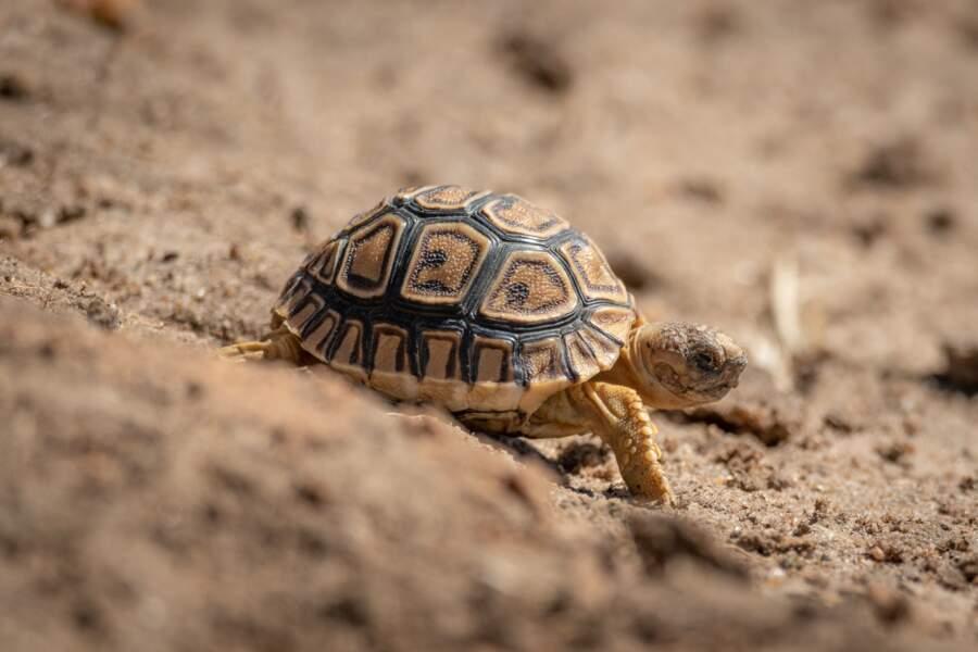 La tortue pour des gélules culbuto