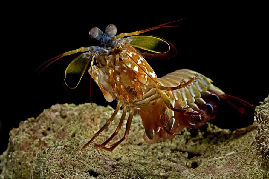 La crevette-mante pour la caméra ultrasensible