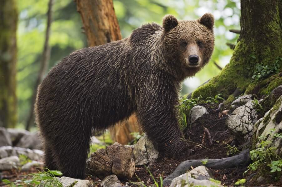 L'ours brun pour un isolant solide
