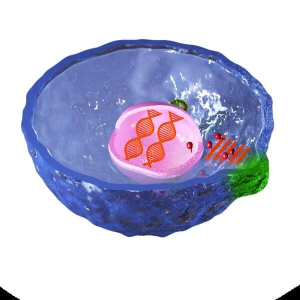 5/ La cellule produit les virus...