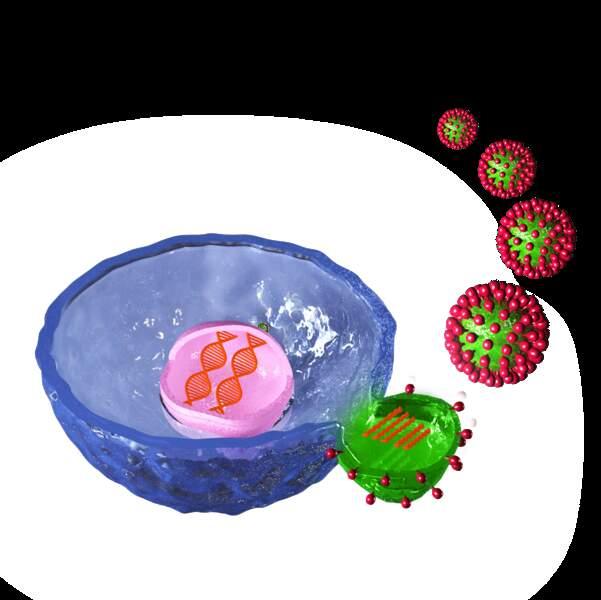 6/ la cellule expulse les virus