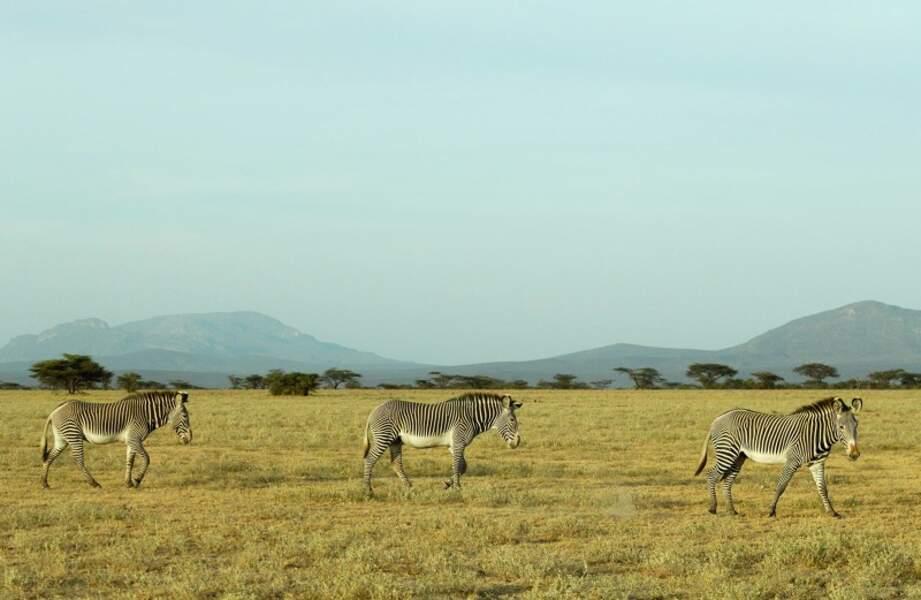 Zèbre de Grevy, réserve nationale de Samburu, Kénya