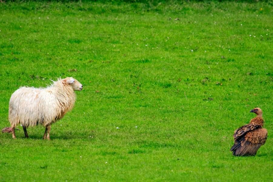 Tête a tête entre un mouton et un vautour fauve